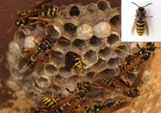 Wasp Nest Removal Dorset